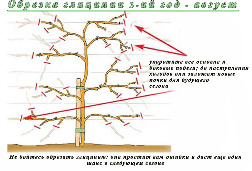 Как выращивать глицинию на садовом участке и как вырастить глицинию в северо-западном климате-обрезка