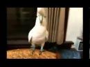 Опа! Попугай отжигает под клип Гангам Стайл
