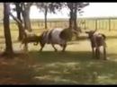 Бой Барана и Коровы кто победит смотрите.