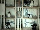 Статные крестовые голуби Василия Крынкина 1