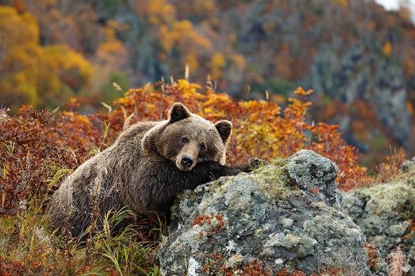 Любите ли вы медведей так же, как наш читатель? Он рассказывает о настоящем рае для этих животных — острове Саманг. Посмотрите, как там красиво!