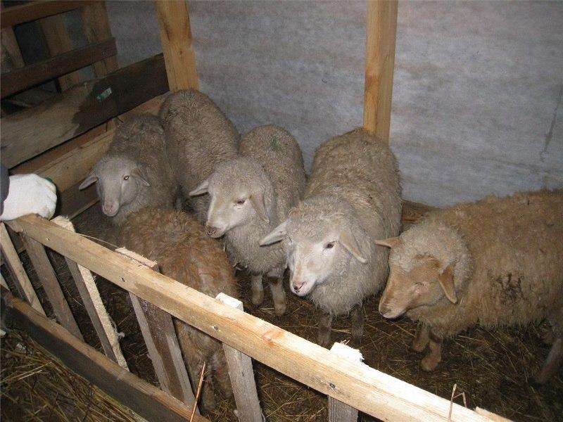 Окот овец и выращивание ягнят 79