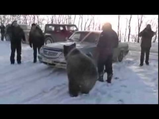 Ручной медведь играет с водителями под Ростовом