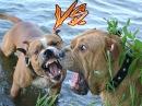 [DOGS] STAFF VS CADEBOU (СТАФФ ПРОТИВ КА ДЕ БО)