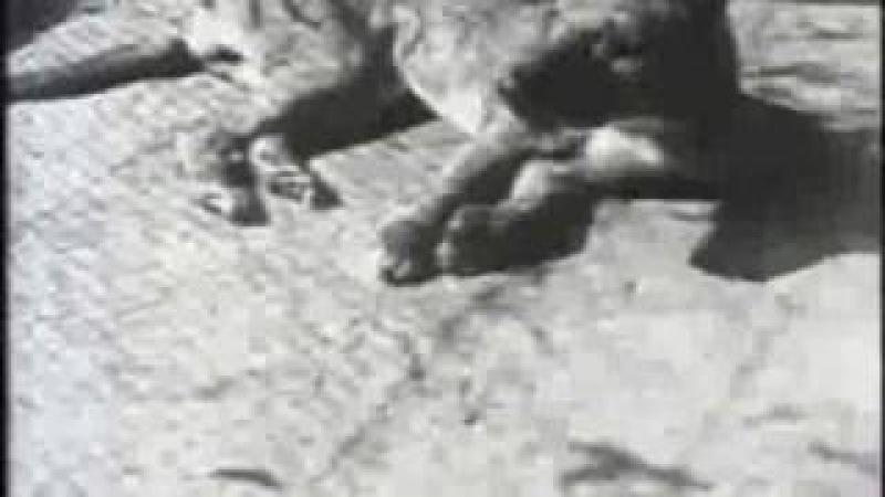 Сумчатый волк (Thylacinus cynocephalus)
