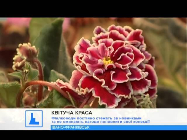 Іванофранківцям презентували виставку фіалок