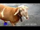 Crazy goat attacks people, Brazil [extended version]