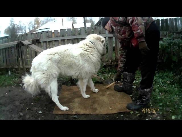 Аппортировка урок 7. Маремма-абруццкая овчарка Миф.