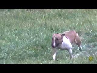 Фишкины фишки. Курсинг по бультерьерски. (Bull Terrier, lure coursing)