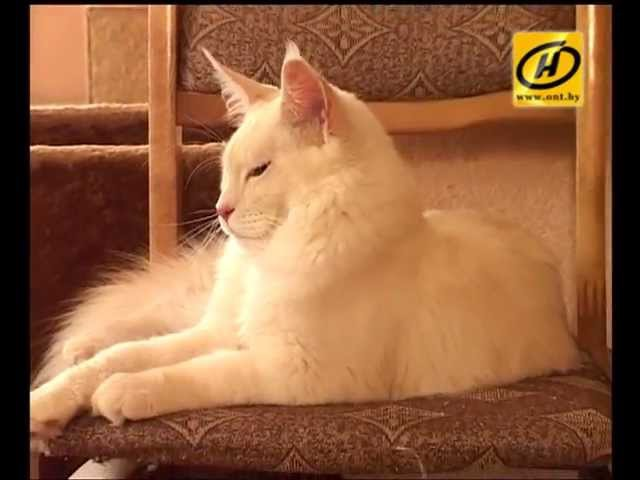Мэйн кун: кот-великан, советы по уходу, видео, 2012