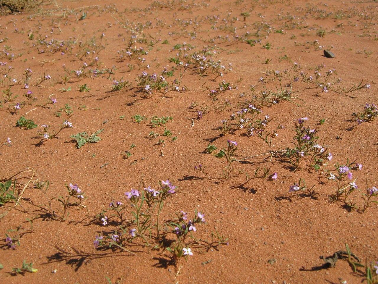 цветы в Вади Рам