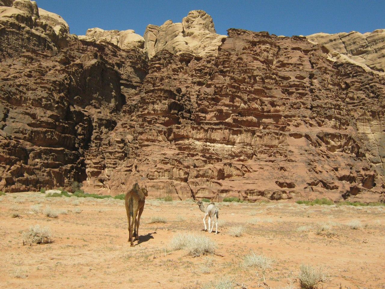 Верблюды в Вади Рам