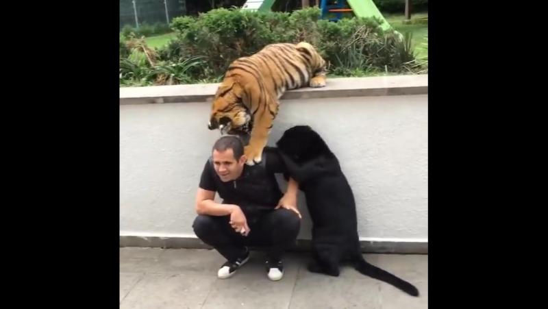 Тигр и пума напали на человека