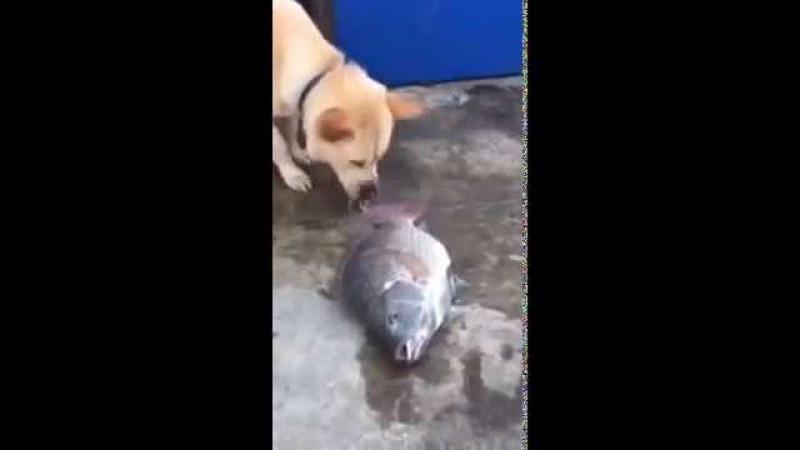 Добрая собака спасает рыб от гибели! » Freewka.com - Смотреть онлайн в хорощем качестве