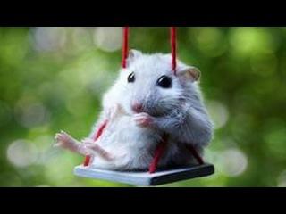 Смешные хомяки  Смотреть смешное видео про животных  Приколы с хомяками