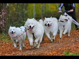 Самоед (Самоедская собака), все породы собак, 101 dogs. Введение в собаковедение.