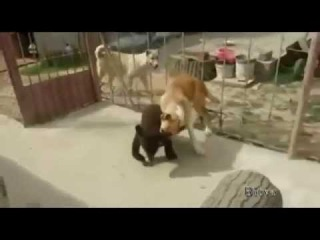 Медвежонок борцуха против собаки