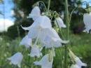 Цветы луговые Тамара Козлова