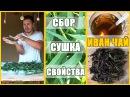 ИВАН ЧАЙ свойства сбор сушка ферментация