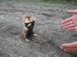 Berserk Hamster - Бешеный хомяк