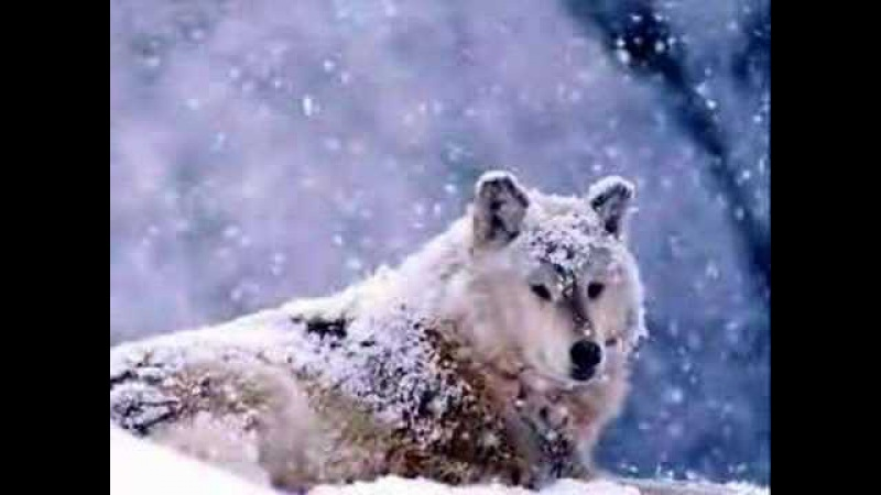 Poleva Nastya Snezhnye volki