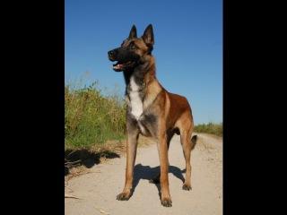 Бельги́йская овча́рка Малинуа, все породы собак, 101 dogs. Введение в собаковедение.