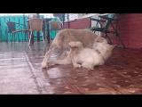 Алабай vs. Маламут (щенки) ?