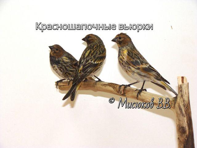 Фотографии моих птиц  6e0D6gLnSB4