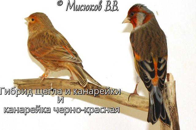 Фотографии моих птиц  IlxJbs5COng