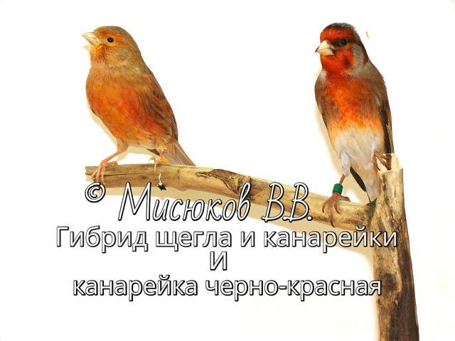 Фотографии моих птиц  NtDf76RVNDg