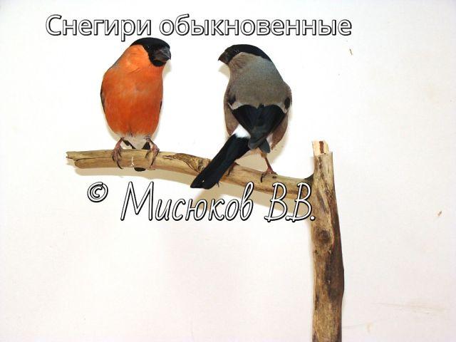 Фотографии моих птиц  S9ksQO6k8Zk