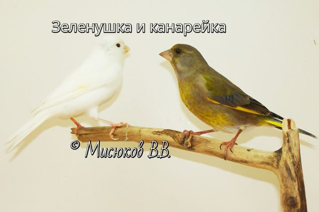 Фотографии моих птиц  6P1t_K3zjUo