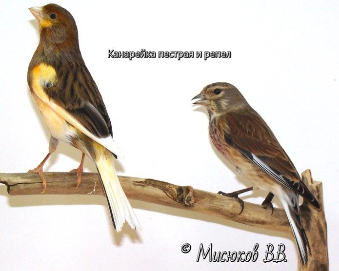 Фотографии моих птиц  IDOu6Xit2lk