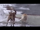 Драка кота с собакой жесть пес сцикун Прикол смех юмор 2015