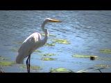 большая белая цапля США Животные Природа США