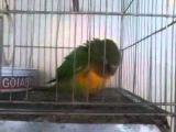 o papagaio. dançando capoeira