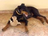 Доберман играет с котенком!!! СМОТРЕТЬ ВСЕМ!!