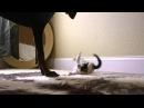 Kitten attacks Doberman
