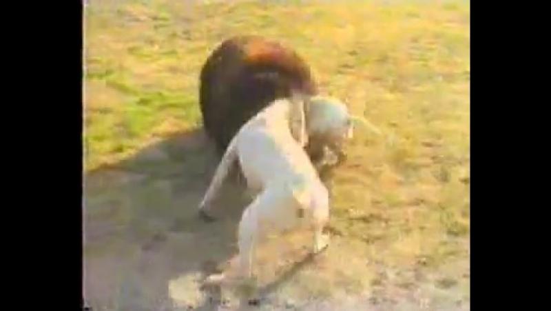 собака порды гуль донг.пакистан