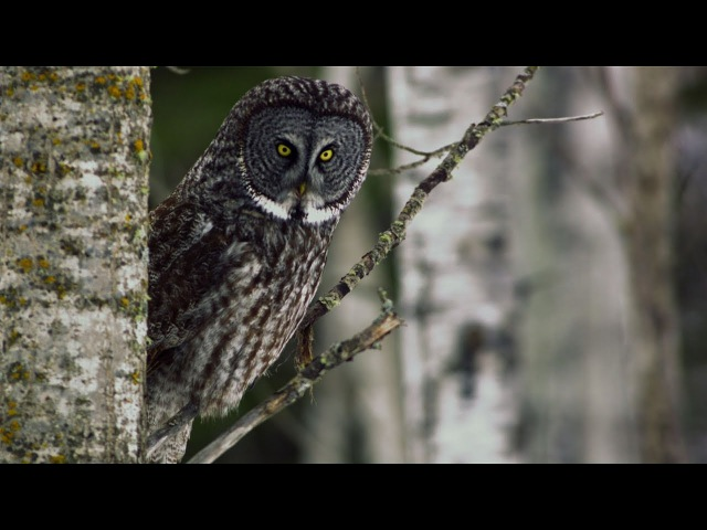 Great Grey Owl | Untamed Americas [National Geographic]