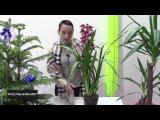 Орхидея Цимбидиум уход в домашних условиях / Cymbidium orchid care at home
