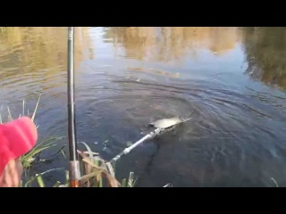 Ловля сазана. Catching wild river carp. Ukraine, the Udy river.