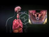 Функции голосовых связок