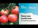 Томатное изобилие От семечка до урожая