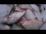 Рыбалка Волгоград 2 - Хищная бель на Дону