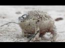 Worlds Cutest Frog - Desert Rain Frog
