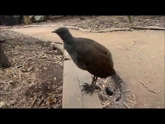Птица Лирохвост издает удивительные звуки(Bird sounds just like a laser! R2D2 bird)