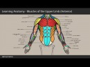 04. Learning Anatomy - Muscles of the Upper Limb (Anterior)