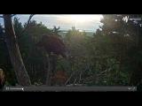 Утро 26.06.2016 Птенцы белохвостых орланов Анны и Уку (Эстония)