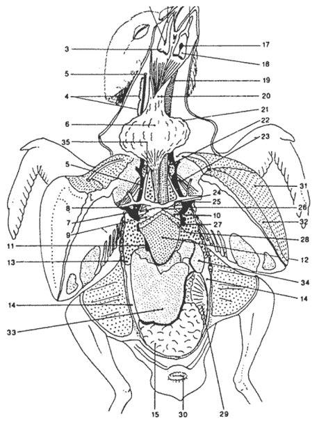 22 – щитовидная железа